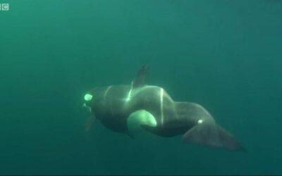 Wale mit Handicap